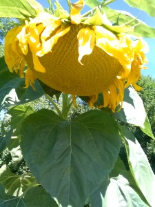 A giant sunflower