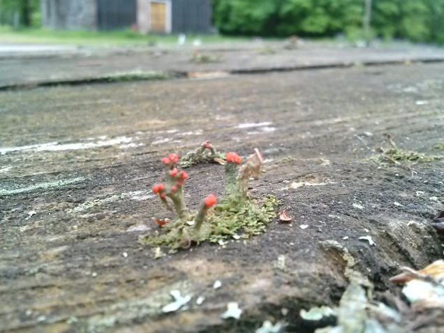 These tiny mushrooms grew on our picnic table in June.