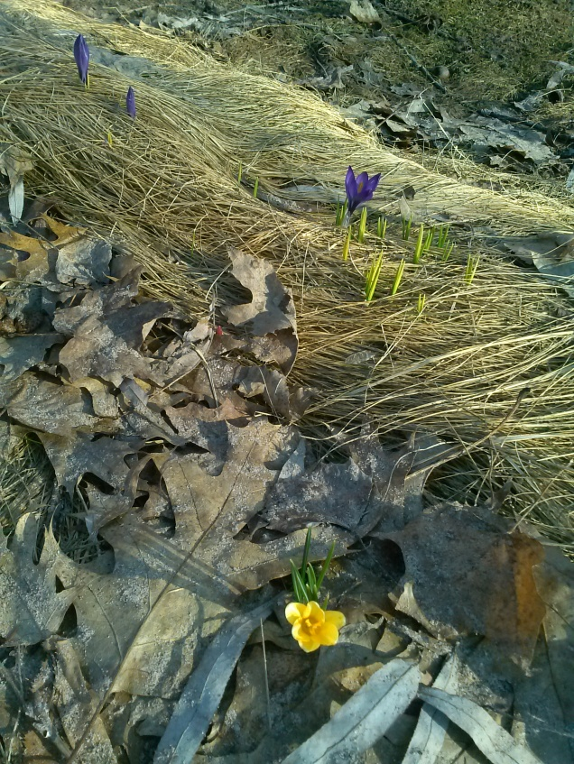 A crocus in our yard from last spring