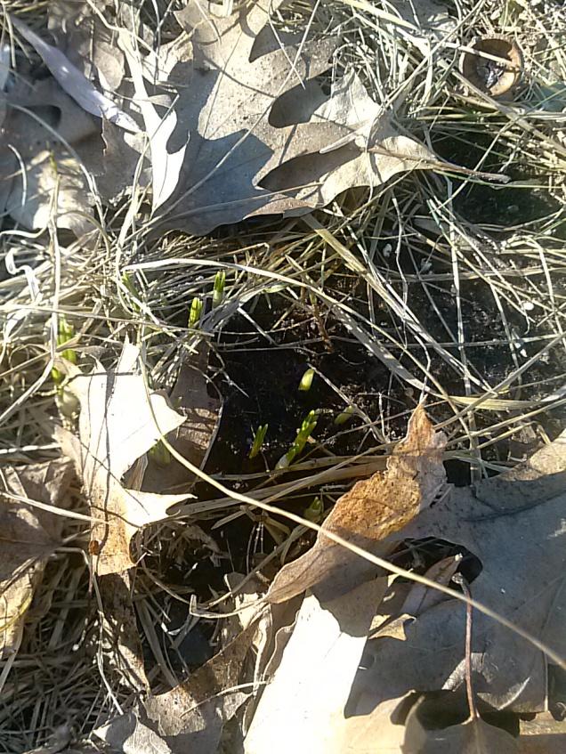 crocus leaves