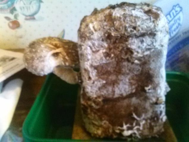 Our Shiitake mushroom.