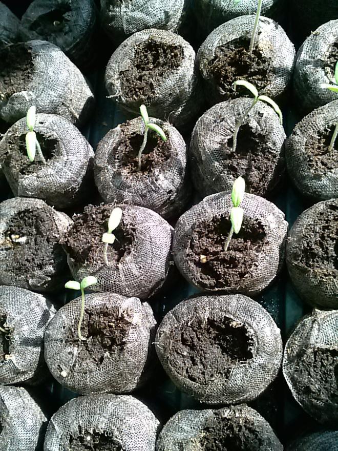 My tomato seedlings