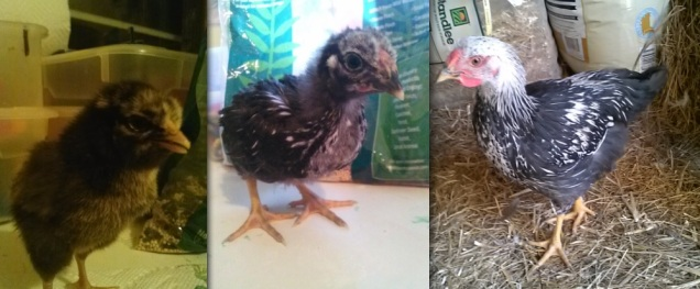 Here is my little black chick that turned into a white-headed chicken.  His (her?) comb is very similar to my adult rooster's - like a blob thing on their forehead.  I'm still not sure the sex of this one.