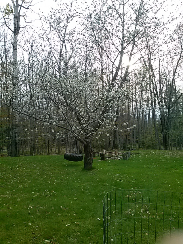 Our cherry tree is in bloom.