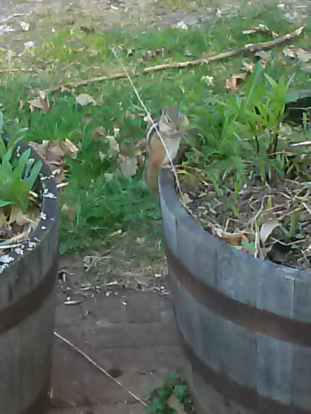 Chipmunk on our flower barrel, waiting for sunflower seeds to fall from our feeder so he can steal them.