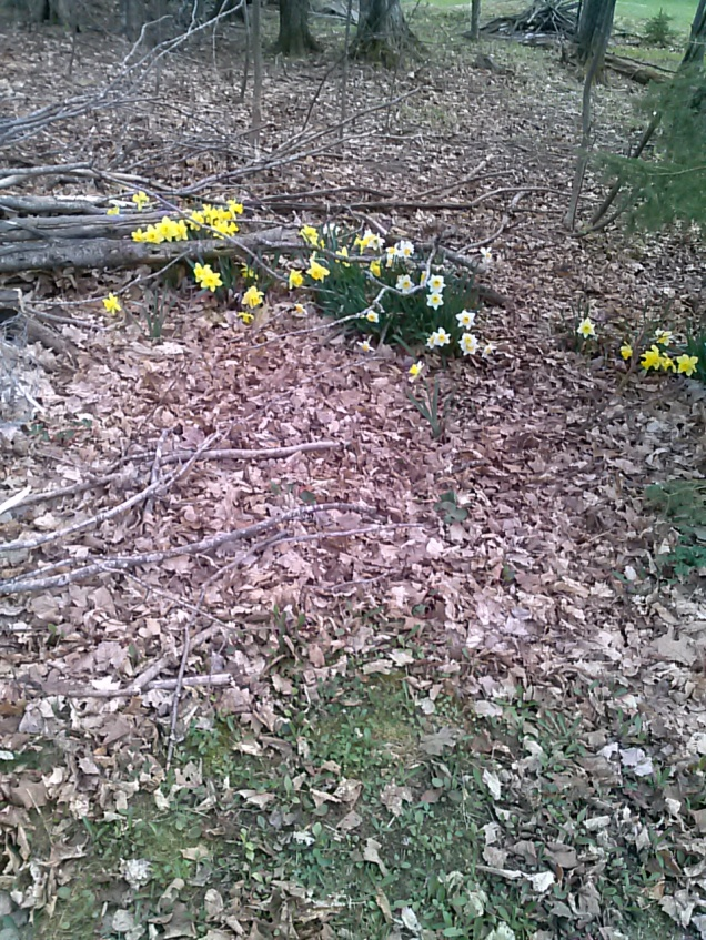 More daffodils in the woods behind our house.
