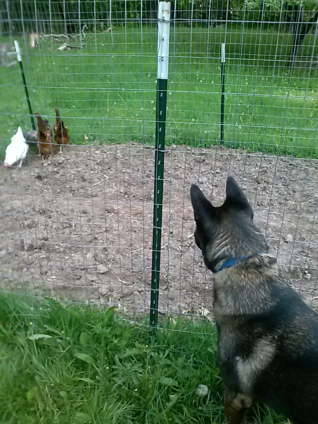 Atat checking out the chickens.