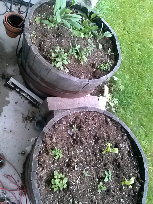 These barrels are on our porch. Last year I tried to grow beets and carrots here, and nasturtiums. The Nasturtiums did ok, but my son found out they were edible and kept eating them. I planted a bunch of different flowers in them this year, along with some herbs.