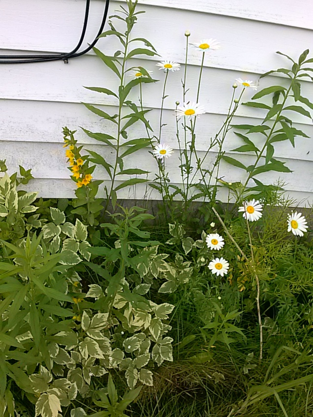 Some pretty flowers along our house. Wild Daisies and some kind of yellow flower - not sure if that was planted or if it's wild.