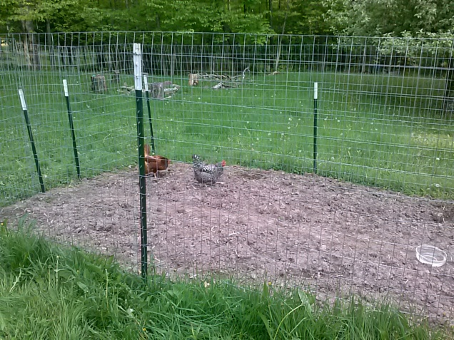 Here are a couple chickens scratching in the garden.