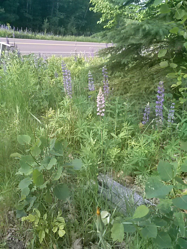 Lupines - we have these growing near our mailbox, and they are growing across the street as well. When I was a kid, there were some at only one tiny spot in the area I live in. Now they are in ditches along the road all over the place.