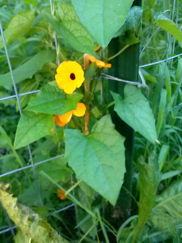 Here is my Black Eyed Susan Thunbergia, growing up my fene.