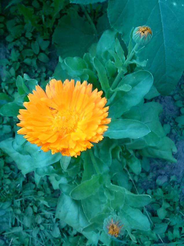 One of my Calendulas, now in bloom.  This is the first year I've grown this, I really like the flowers.  They are very bright.