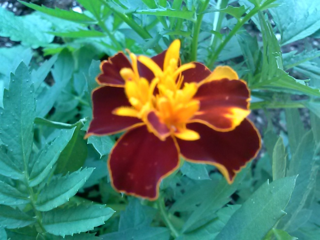 Here is one of my marigolds.  I have a few of these scattered in the garden, and in some flower barrels on the porch.