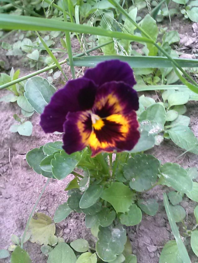 Here is one of the pansies I put in amongst the vegetables.  This one has really pretty coloring.