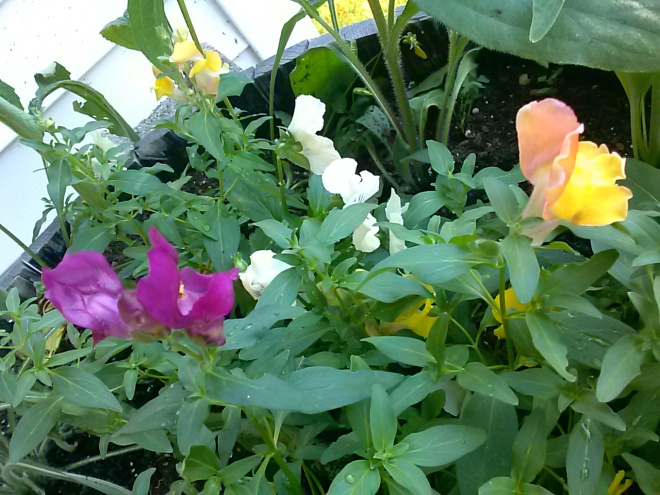 Here are some Snapdragons and Pansies I have growing in a barrel on our porch.  I've never grown snapdragons before. They are very colorful.