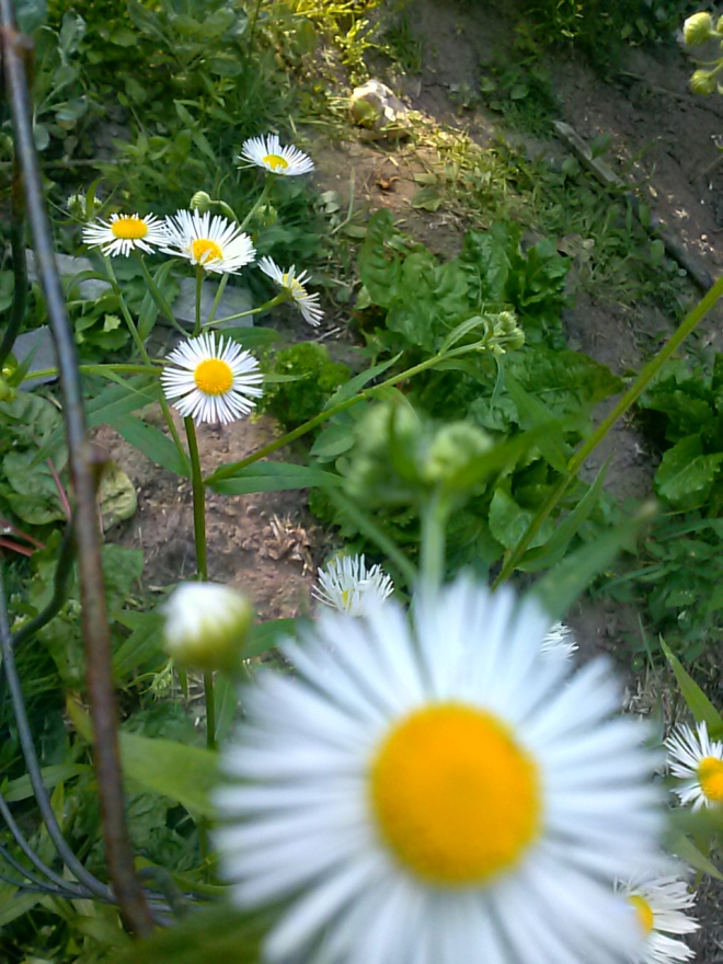 I'm not sure what this is, it's a wild daisy-type flower that grows in my yard.  The plant is about 3-4 ft. tall, and these flowers are about the size of a quarter.