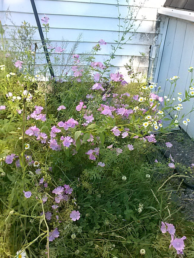 I am not sure what these are, but they grow on the side of our house and they are pretty.