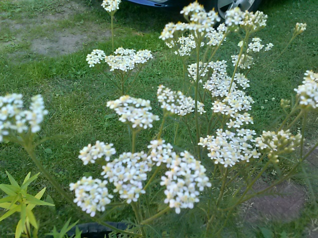 Here is some yarrow that is growing next to my not-yet-bloomed lilies in a barrel.  We have some wild (like this one) and some that I believe my mom said she planted that comes in different colors.
