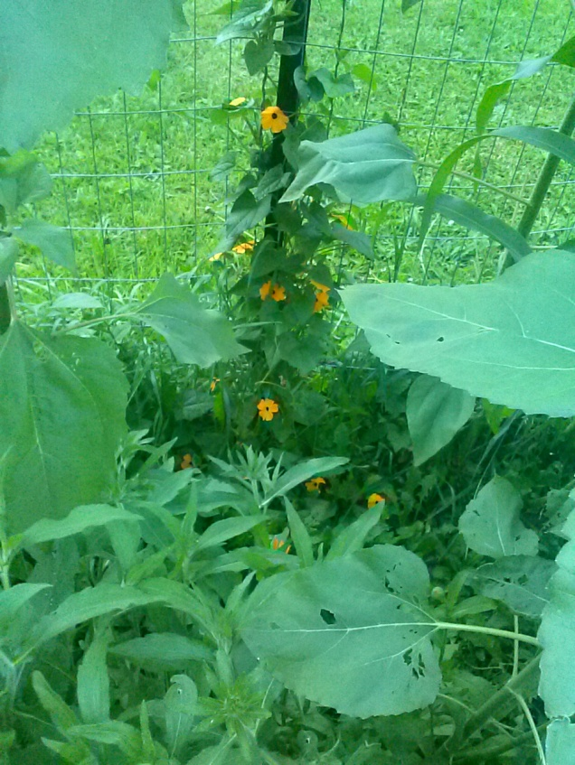 My Black Eyed Susan Thunbergia through the corn/sunflower jungle. I have some regular Black Eyed Susans and calendula planted between the corn, and those are getting very tall also.