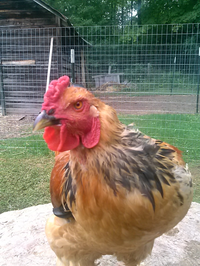 Here is our big beautiful Brahma rooster.  I really want to keep him, but he has lately become a bit aggressive with me.  I'm trying to break that out of him (just showing him I won't take his attitude) but we'll have to see.  I can't keep a really aggressive rooster. I'm hoping he comes around.