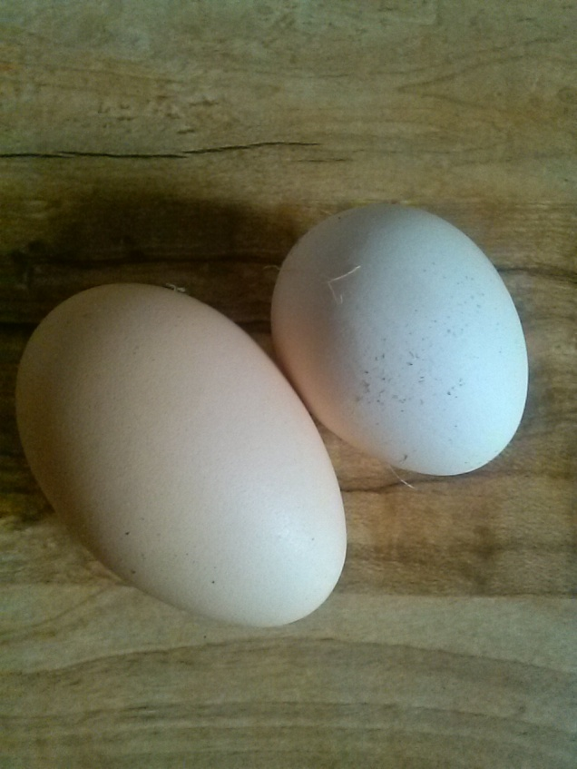The small egg is from our speckled sussex. The larger one is a typical one from our adult 1 year old hens.
