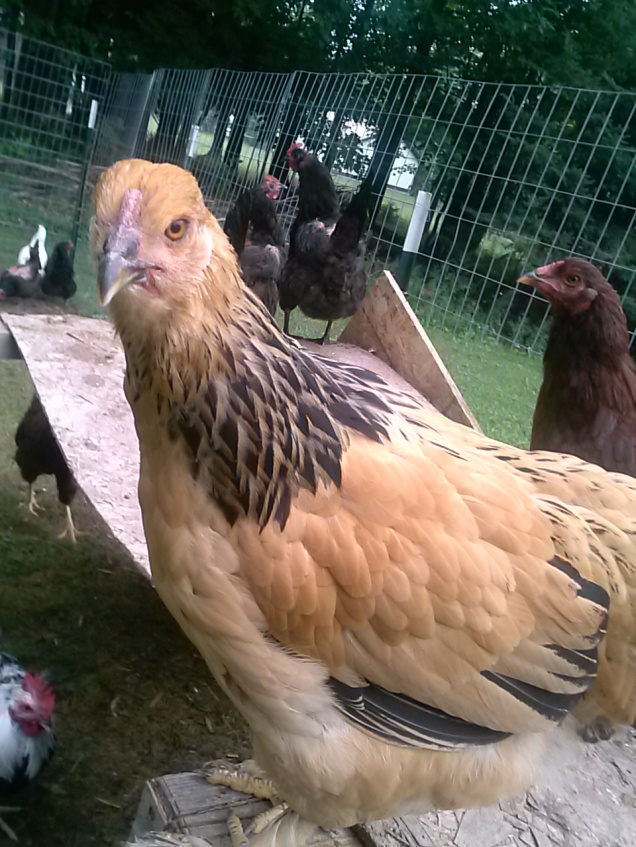 "Here is one of our Brahma ""twin"" hens."
