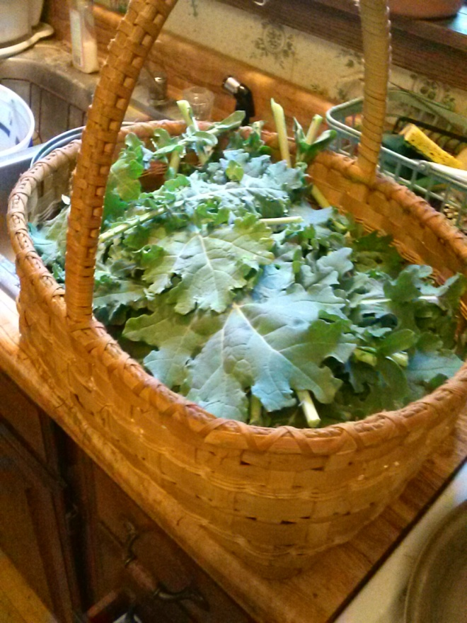 My big basket of kale.  This basket is about 2 feet long, 1 foot wide, and just under a foot tall. That's a whole lot of kale.