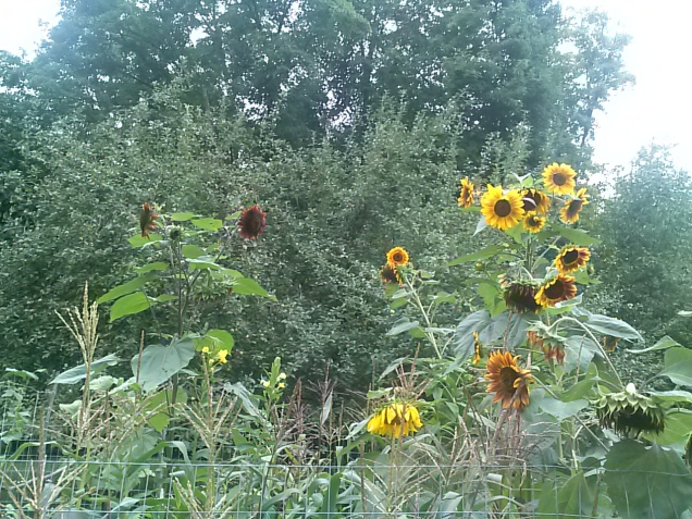 My sunflowers - some are about 8-9 feet tall now.