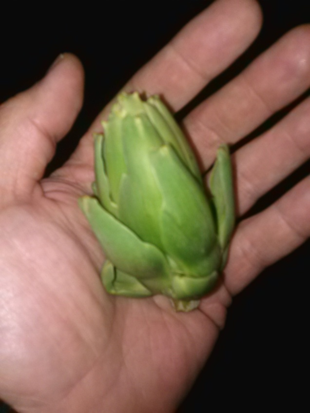 Here's the second artichoke - it's a little skinny but still will be delicious.