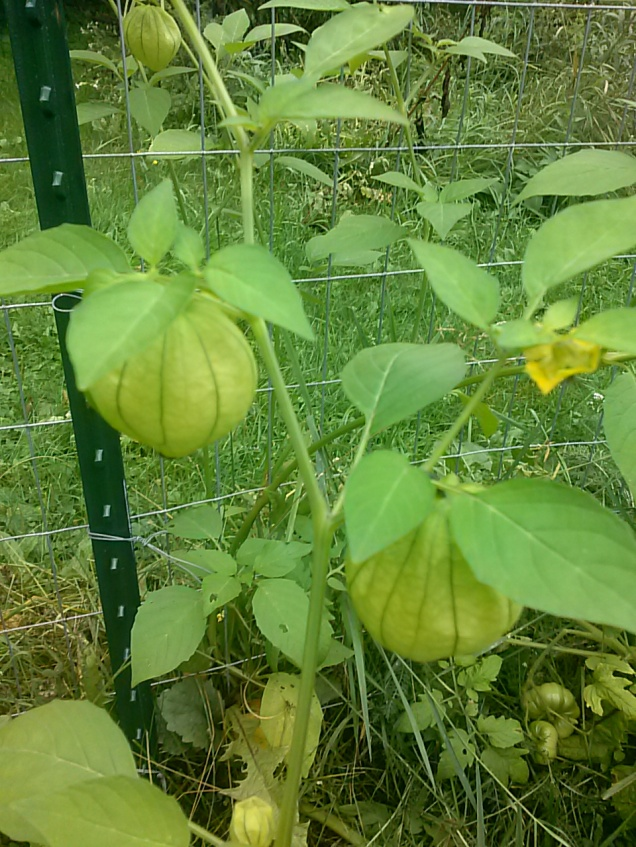 Tomatillos.  I have lots of hummingbirds that like these flowers as well, so they are helping to pollinate them.