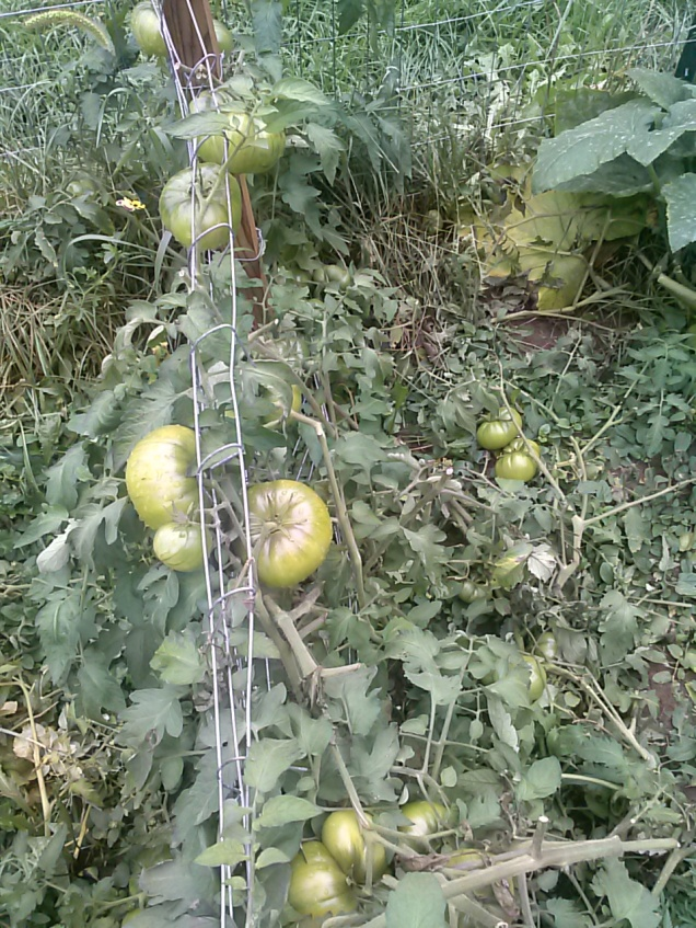 My tomatoes waiting to ripen.