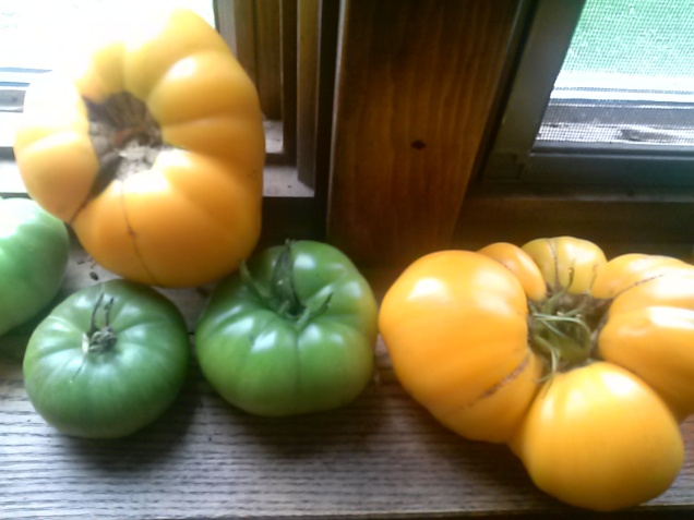 We have these tomatoes in the window to ripen.