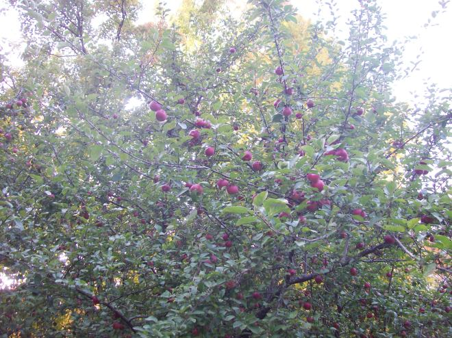 One of the apple trees.