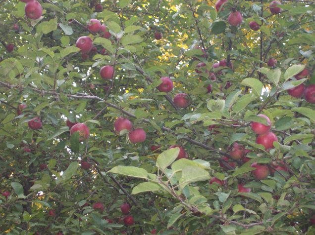 A closer view of those yummy apples.