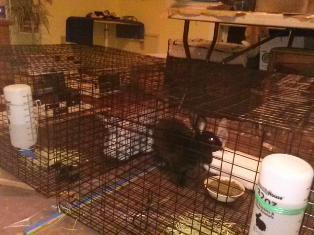 Here are the rabbits in their temporary cages, in my art/livestock room.