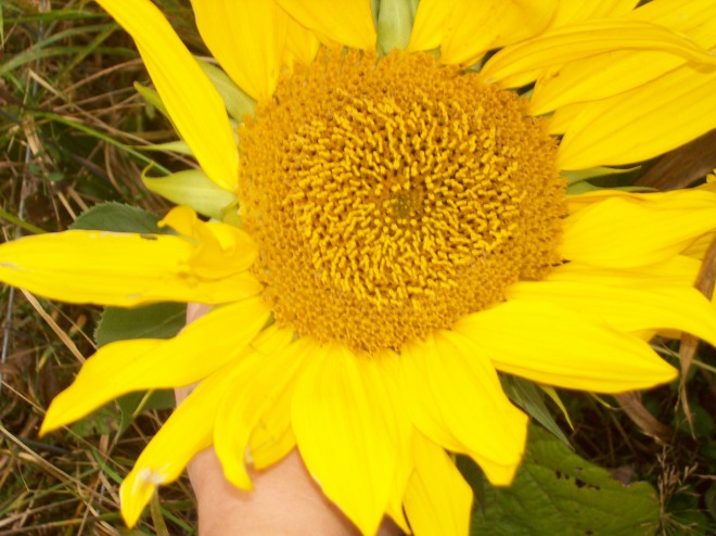 My maybe-last sunflower for the year.