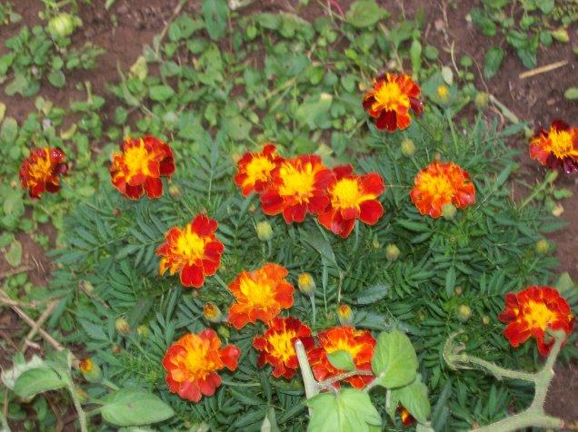 My marigolds.