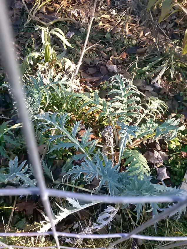 artichokes still alive
