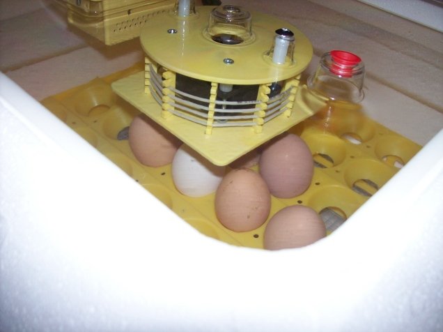 incubator with eggs