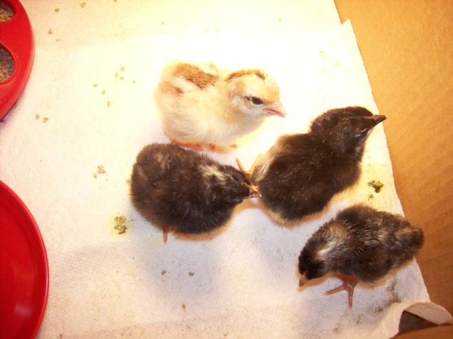 tiny chicks in the brooder