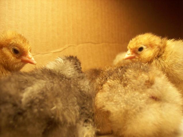 chick fuzz