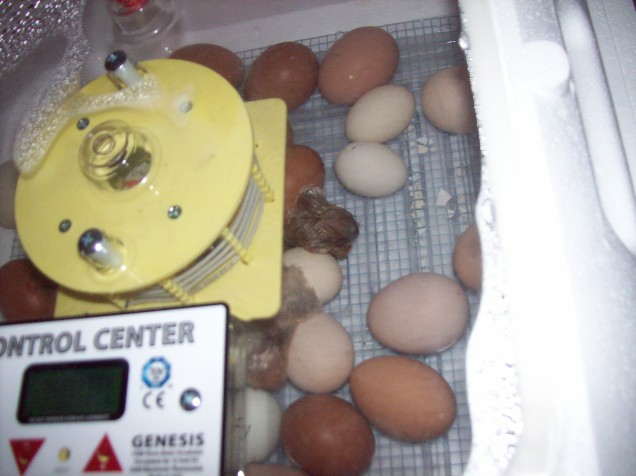 start of hatch