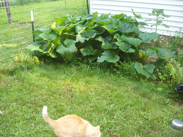 zucchini with cat