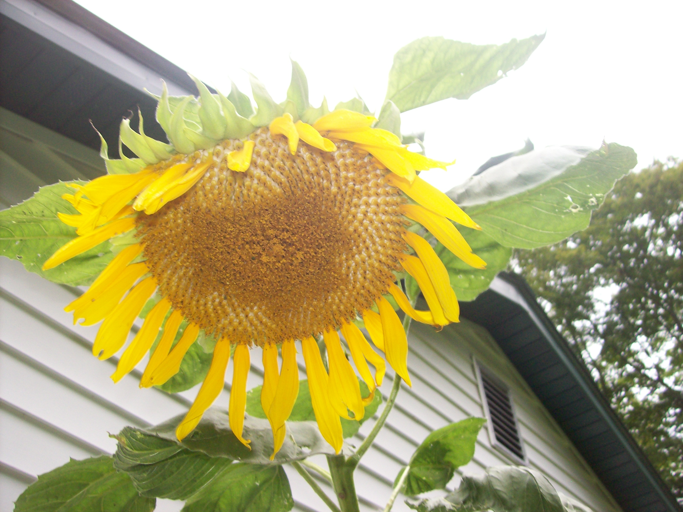 backyard-sunflower