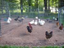 They are getting used to being with the chickens.