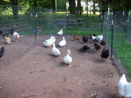 The ducks when we first put them into the coop.