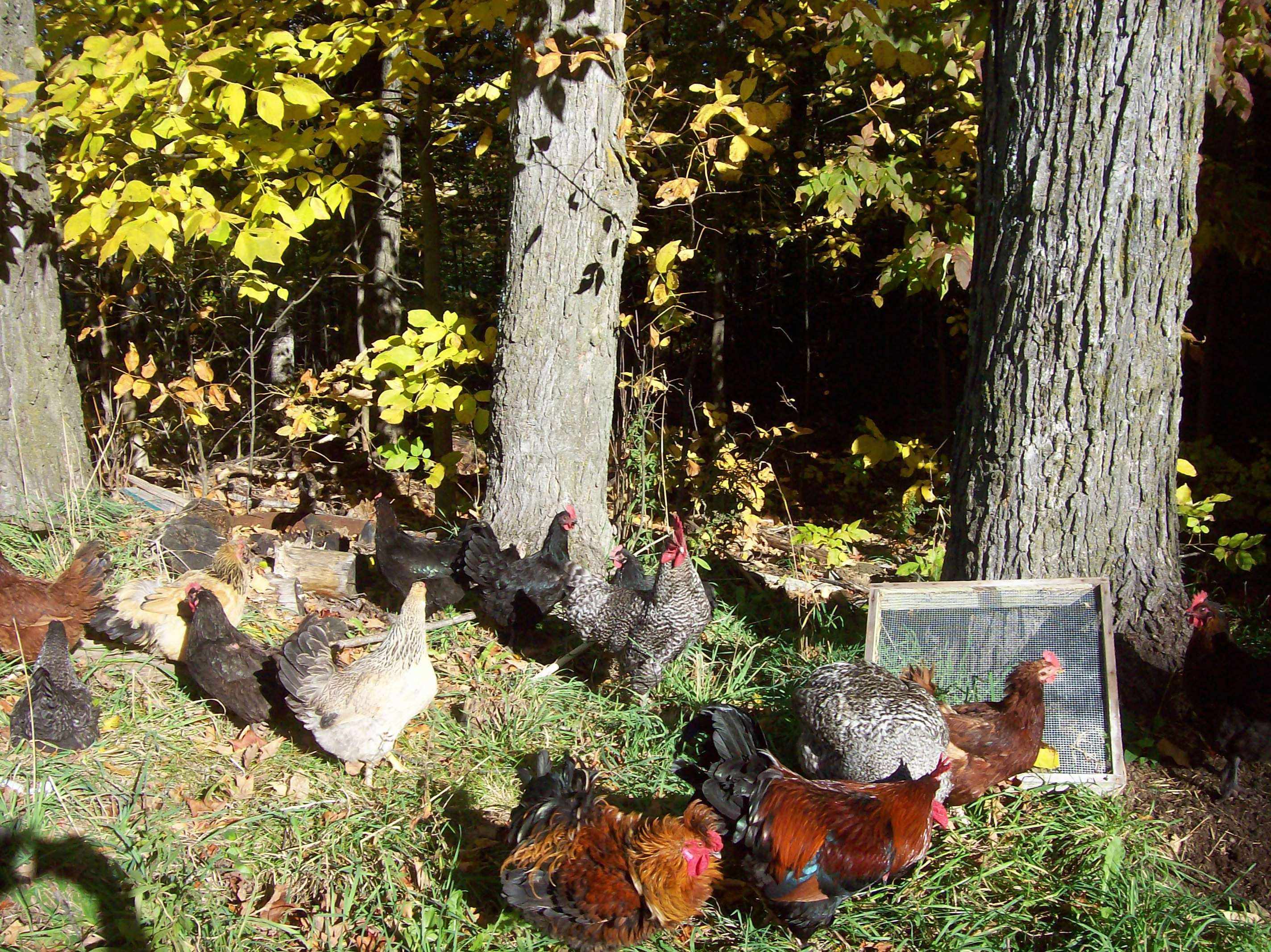 chickens-everywhere