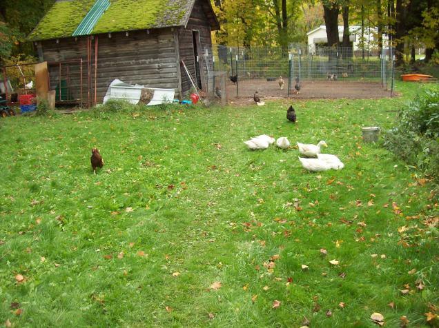 yard-birds