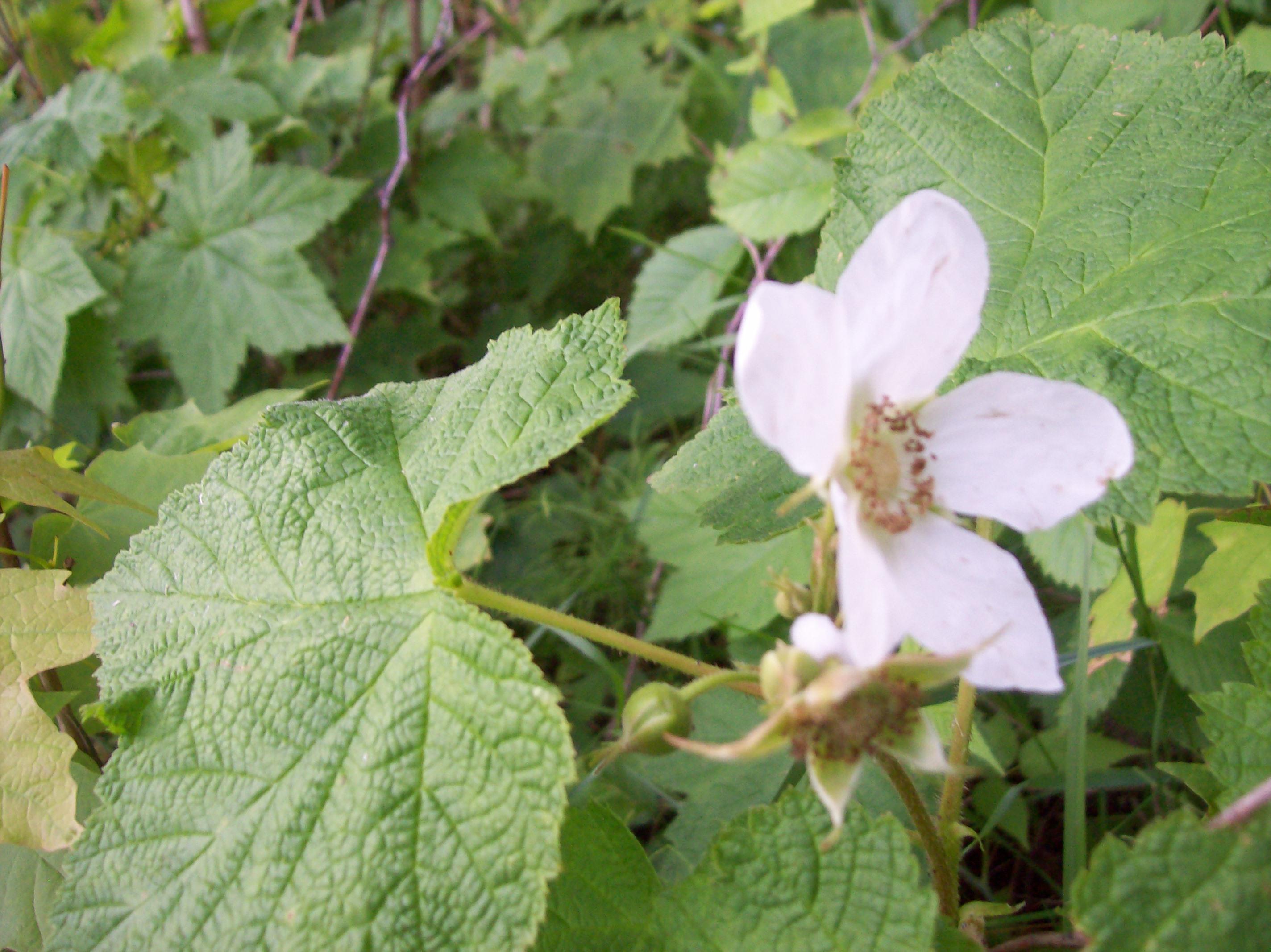 Thimble Berry Flower